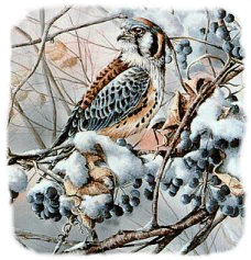 Photo of a Falcon in Winter